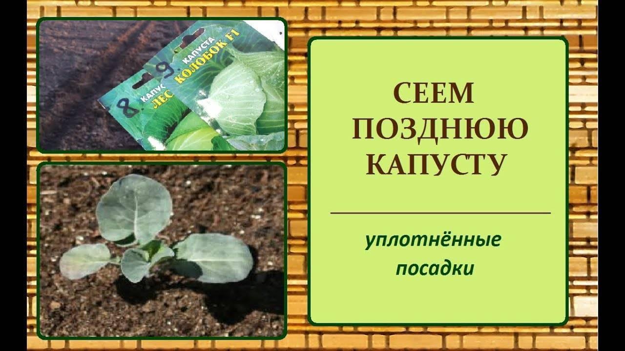 Как правильно и на каком расстоянии сажать капусту в открытом грунте