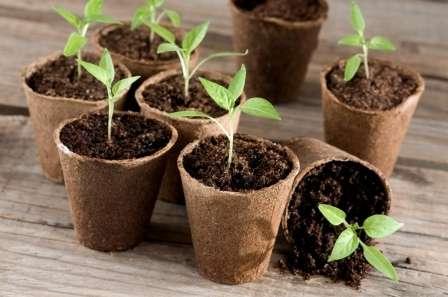 Как быстро и просто вырастить рассаду огурцов в торфяных таблетках
