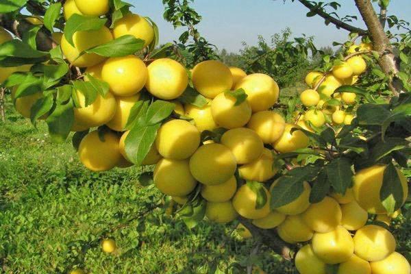 О алыче Царская: описание и характеристика сорта, посадка и выращивание