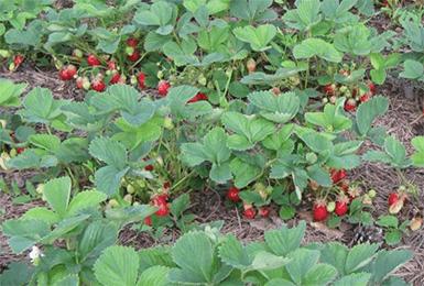 Чтоб клубника хорошо плодоносила, нужно всего 4 подкормки за сезон
