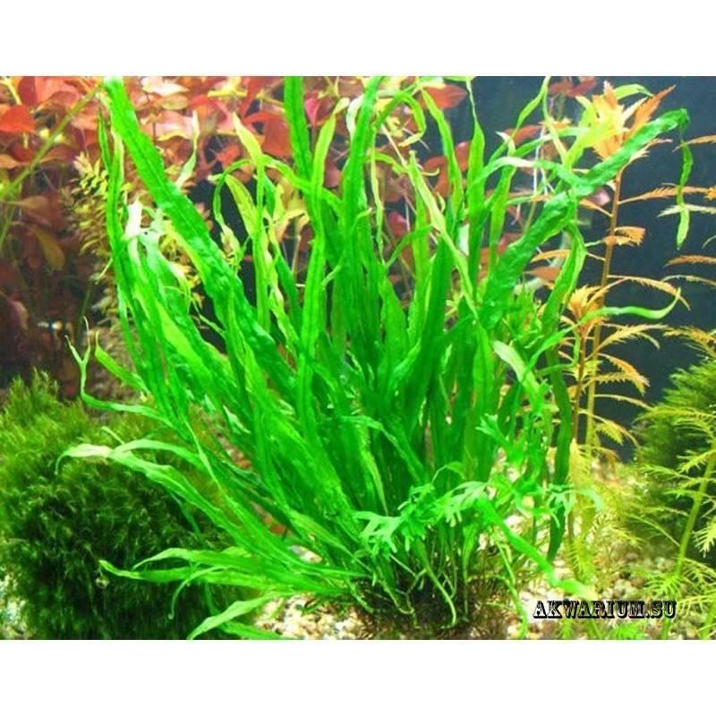 Аквариумный папоротник (18 фото): виды растений для аквариума, правила содержания индийского, таиландского и других папоротников