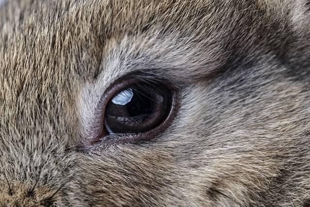 Болит глаз у теленка