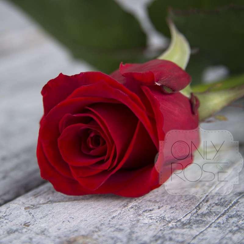 Розы флорибунда - история, особенности, агротехника, сорта | о розе