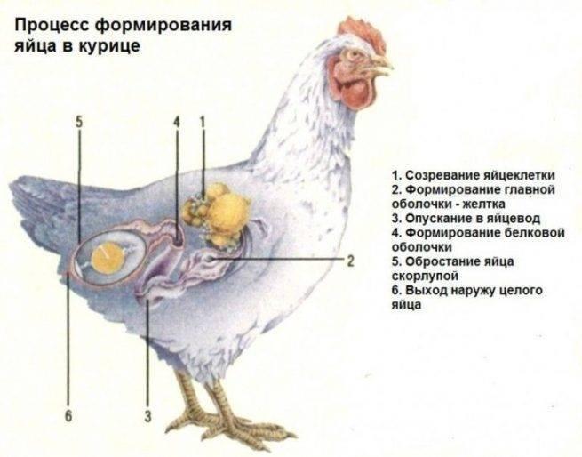 Лечение клоацита у кур и бройлеров (воспаление клоаки, выделение белой жидкости)