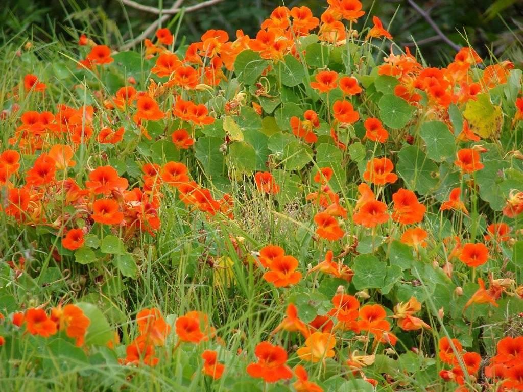Настурция – выращивание из семян