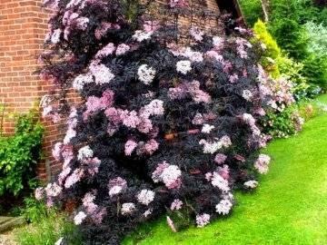 Бузина черная (57 фото): описание цветков и плодов, «ауреа» и «блэк бьюти», сорта для подмосковья, «мадонна» и «блэк тауэр», посадка и уход за кустарником