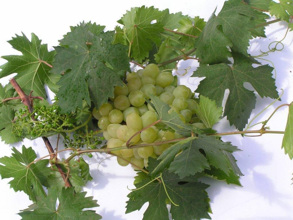 Светлый и ранний виноград алёшенькин: особенности посадки, выращивания и ухода