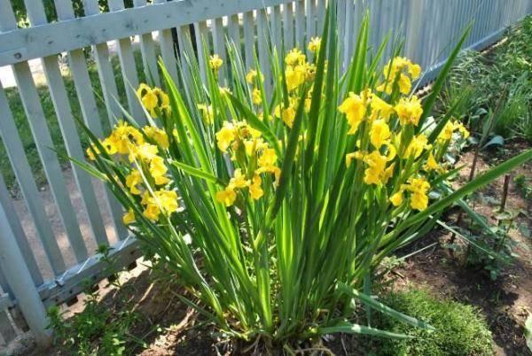 Цветы ирисы: фото растения с описанием видов и сортов