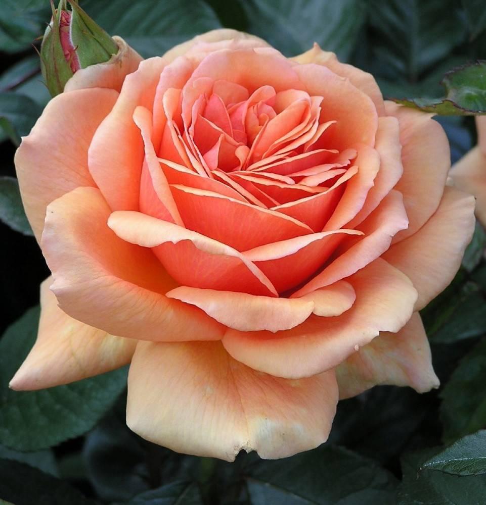 Чем примечательна чайно-гибридная роза ашрам: описание и выращивание