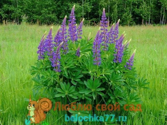 Люпин (49 фото): что это такое? посадка и уход за цветами в открытом грунте, выращивание белых и узколистных люпинов на клумбе