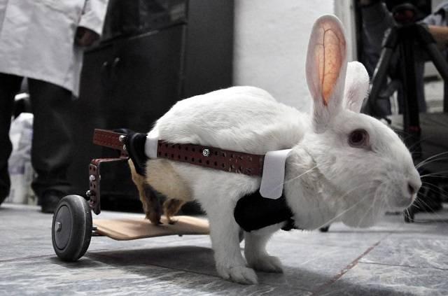 У кролика отказали ноги лечение