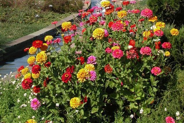 Цинерария: выращивание из семян рассадой, посадка и уход в саду