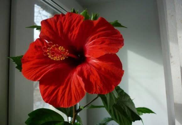 Цветок гибискус - простые правила выращивания в домашних условиях