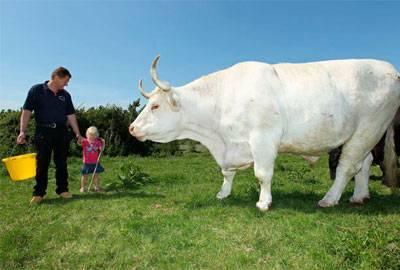 Мясные породы коров - описание, характеристики, фото и видео | россельхоз.рф