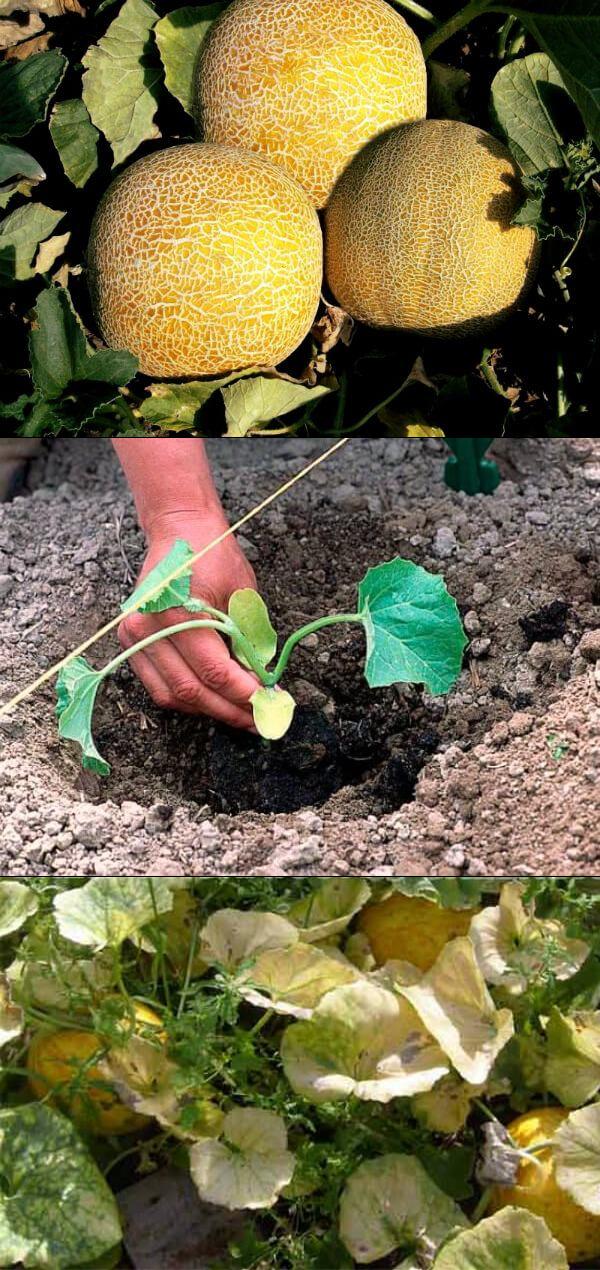 Дыня колхозница выращивание в открытом грунте — ягоды грибы