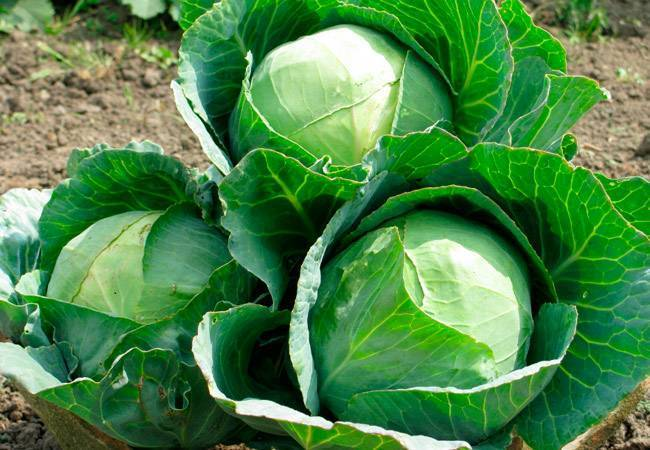Чем подкормить капусту после высадки рассады?