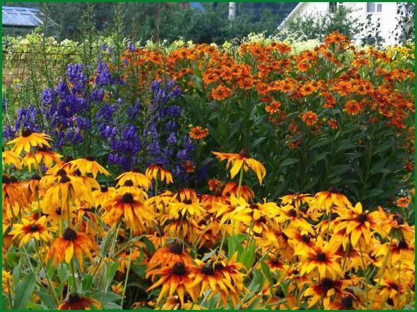 Аконит: посадка, уход и выращивание в открытом грунте