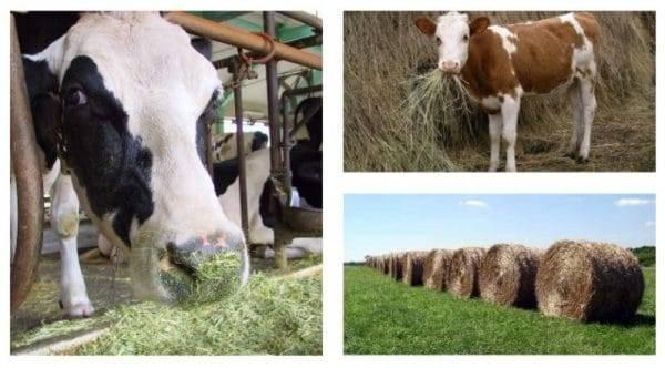 Сколько весит корова и как рассчитать её вес