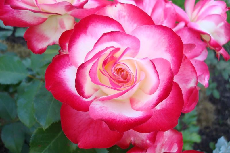 Роза юбилей принца монако фото