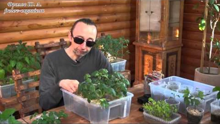 Посев семян арбуза на рассаду