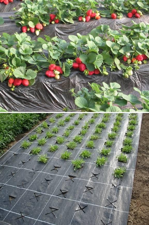 Стоит ли сажать клубнику под черный укрывной материал. как посадить клубнику