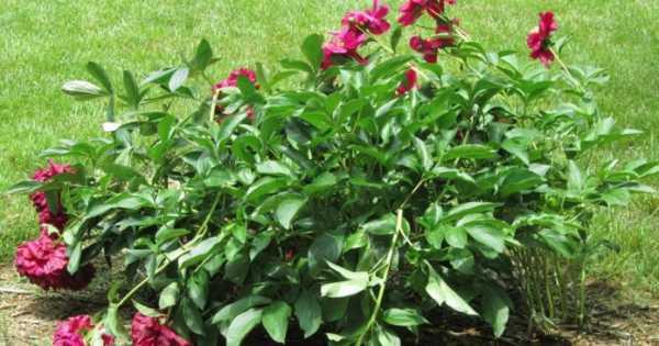 Уход за пионами после цветения: обрезка, подкормка, полив - ты-фермер