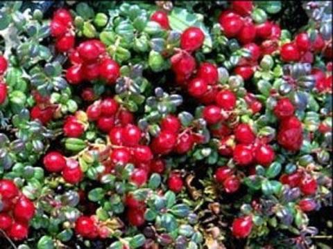Классика северного сада: черника обыкновенная и клюква крупноплодная