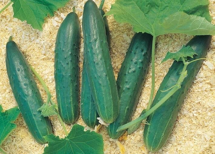Выращивание огурцов в парнике на урале