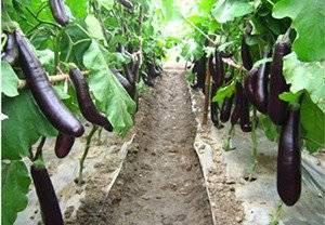 Выращивание баклажанов в теплице и открытом грунте