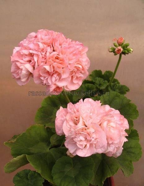 Пеларгония дениз: как выглядит на фото, какого ухода требует, трудно ли вырастить этот сорт цветка и чем отличается от других видов растения?