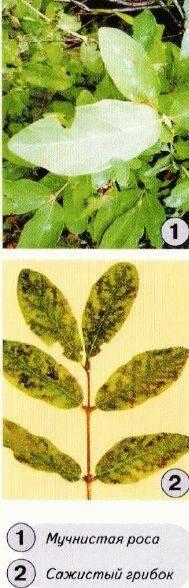 Обработка смородины весной кипятком - уход и борьба с вредителями