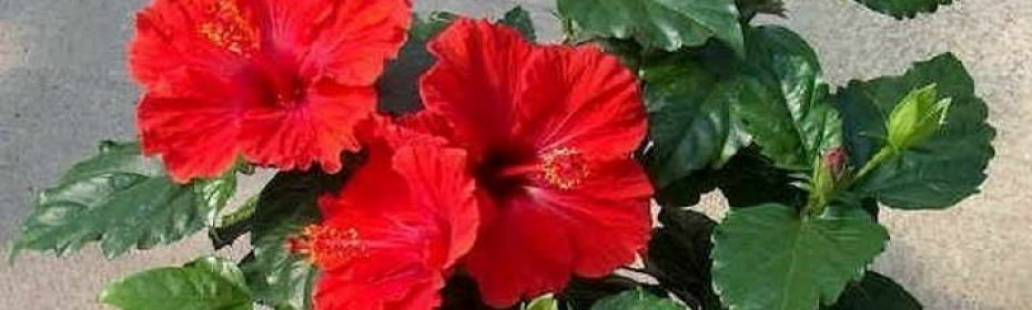 Гибискус садовый: уход и размножение