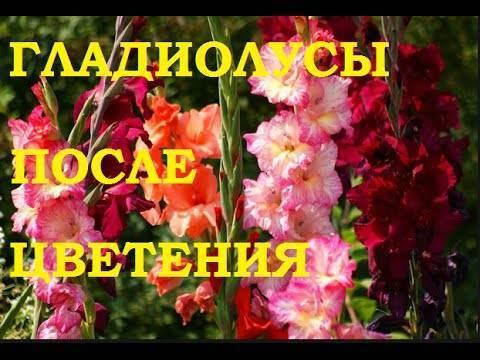 Гладиолусы отцвели, что делать дальше: правильный уход за гладиолусами после цветения