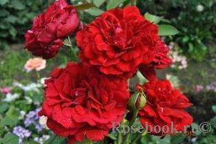 Почвопокровные розы — зимостойкие сорта, цветущие всё лето
