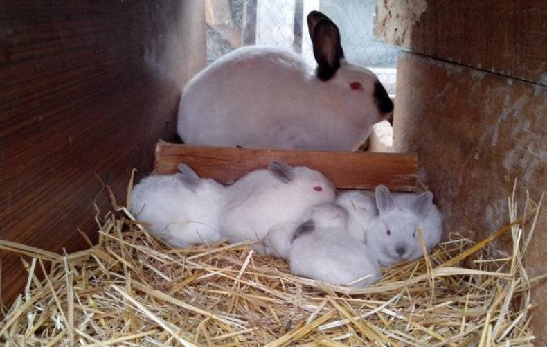Как выкормить крольчат без крольчихи самостоятельно?