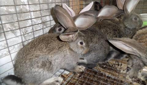 Кролики породы фландр - характеристики и описание породы, разведение с фото и видео   россельхоз.рф