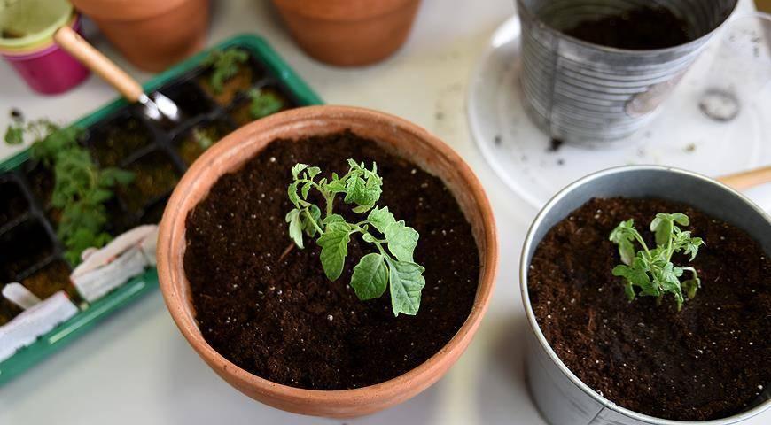 Болезни рассады томатов: описание и способы их лечения