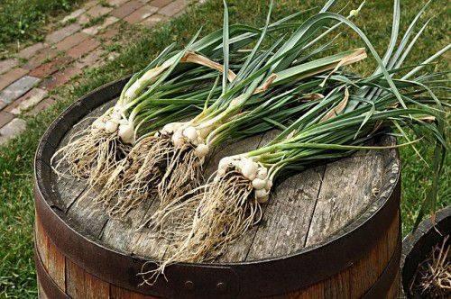 Выращивание лука-порея рассадой: все нюансы и тонкости