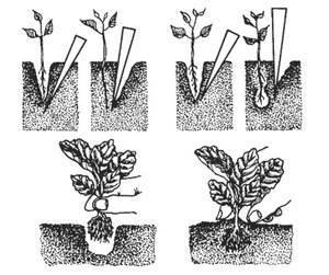 Пикировка рассады капусты в 2020 году: благоприятные дни по лунному календарю