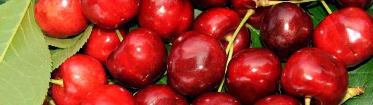 Черешня ярославна – сладкий крупноплодный сорт