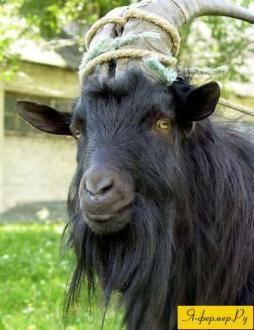 Болезни коз и козлят - их симптомы и лечение, опасность для человека 2020