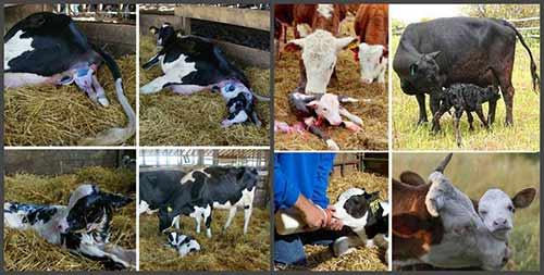 Запуск коровы перед отелом, первые признаки начала, сервис и транзитный периоды