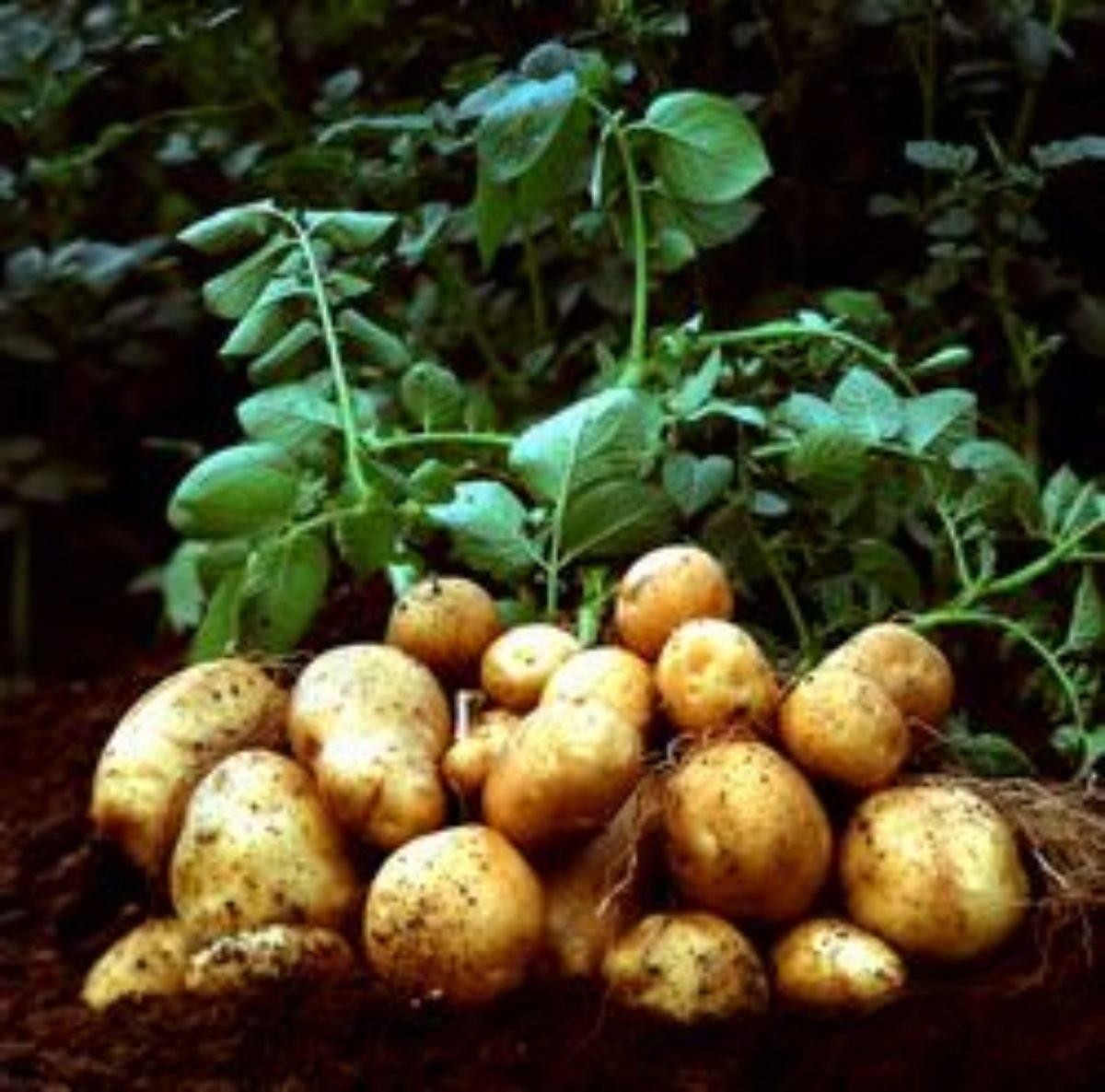 После каких культур лучше сажать картофель?