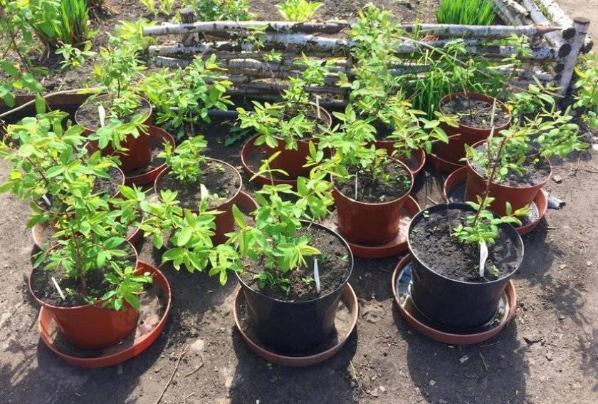Посадка жимолости весной саженцами - главные правила, которые помогут получить хороший урожай