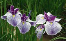 Все о цветении ирисов: особенности, возможные проблемы и дальнейший уход