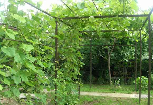 Руководство по созданию шпалеры для винограда своими руками