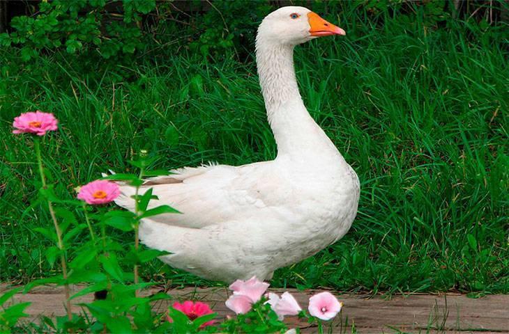 Холмогорские гуси — описание породы