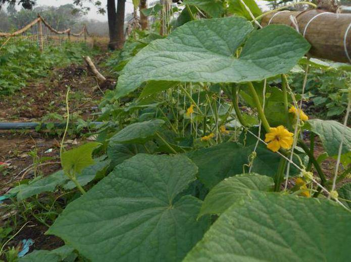 Огурец-гибрид гармонист f1. характерные особенности, принципы выращивания