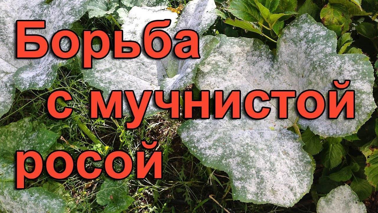 Вредители и болезни петуний (фото, признаки и меры борьбы)