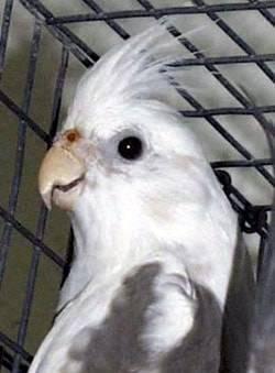 Как отучить курицу квохтать